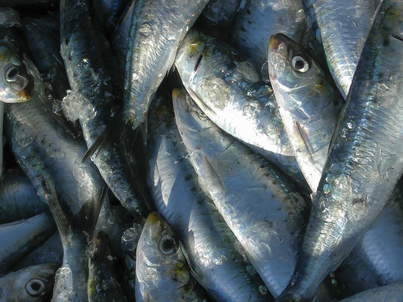 sardine-pêche-en-mer-bretagne-secrete
