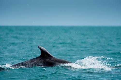 Grand-dauphin-sauvage-bretagne-secrete