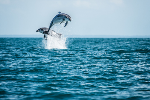 Observation-dauphin-sauvage-bretagne-secrete