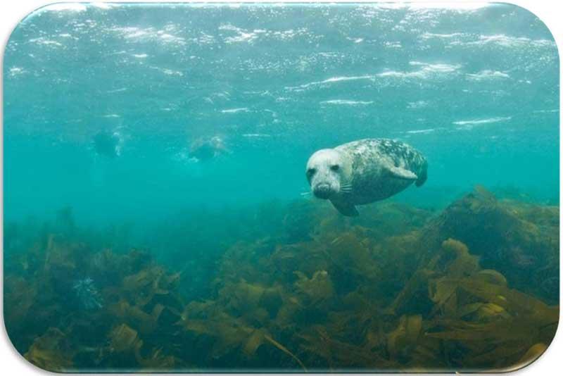 Nager avec les phoques en Bretagne
