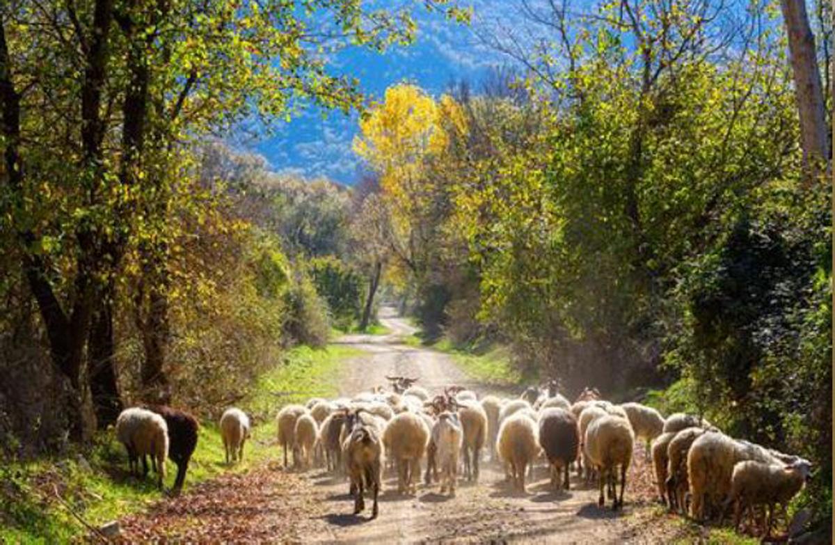 mouton-irlande